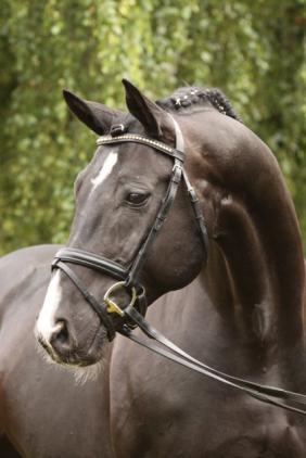 Immediate Credit Card >> SES Stallion: Rotspon, Hanoverian, Frozen Semen Equine Semen